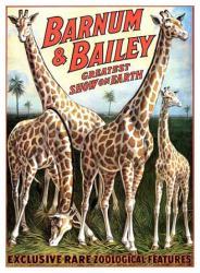 Barnum & Bailey circus poster (18 X 24) Giraffes