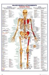 Human Body poster (24x36) Major Muscle Attachments Anterior View