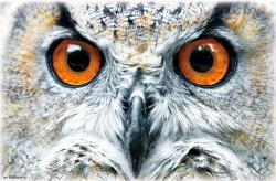 Owl poster: Close-Up (34x22) New