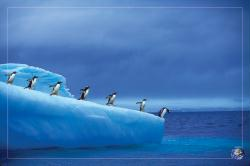 Penguins poster: Save Our Planet (36'' X 24'') New