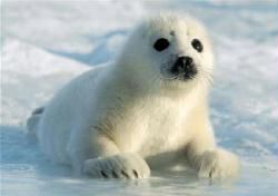 Seal Pup poster: Baby Seal On the Ice (34x24) New