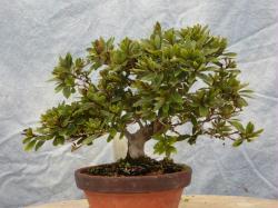 Yama Kirisima satsuki azalea bonsai
