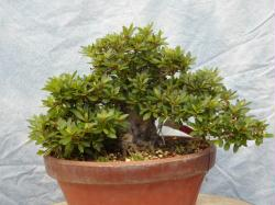 Chinzan bonsai