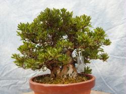 Hakurin (twin trunk ) satsuki azalea bonsai